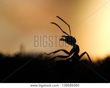 Silhouette of ant at sunset. Orange and black. macro