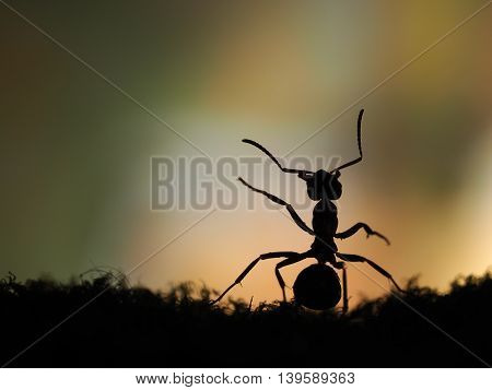 Silhouette of ant at sunset. Orange and black. Macro.