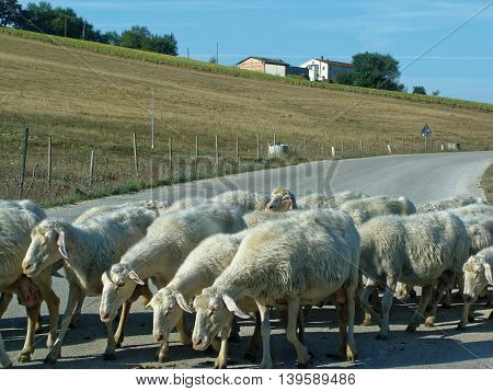 White sheep. A flock of sheep grazing on a mountain road in Italy.