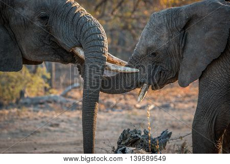 Two Elephants Playing In The Kruger National Park.