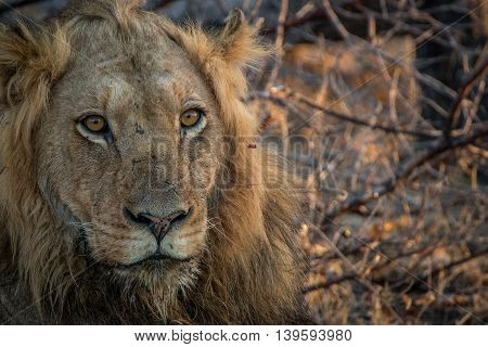 A Male Lion Starring In The Kruger National Park.