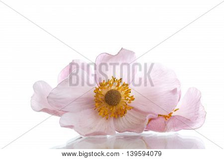 Summer pink flower on a white background