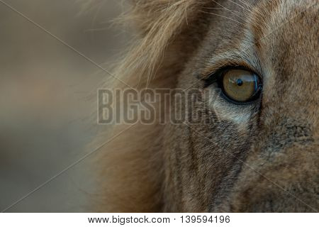 The Eye Of A Male Lion In The Kruger National Park.