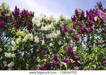 Beautiful Lilac blossoms on the springtime in park