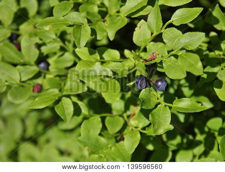 Wild growing blueberries photographed on a mountain meadow in the Swiss Alps.