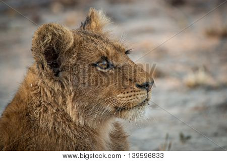 A Lion Cub Looking Up In The Kruger National Park.