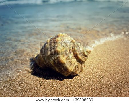 Large whelk shell washed by sea waves. Summer vacation background