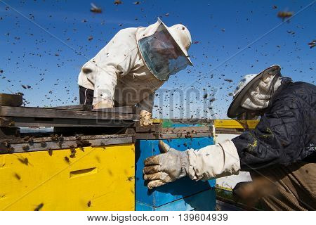 Horizontal front view of two beekeepers working the honeycomb of a beehive with bees swarming around them