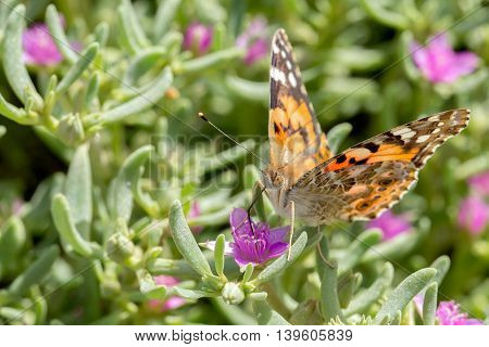 Painted Lady Butterfly or Cynthia in a farm in Bahrain