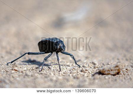 Namib Desert Darkling Beetle or Stenocara Gracilipes, Bahrain