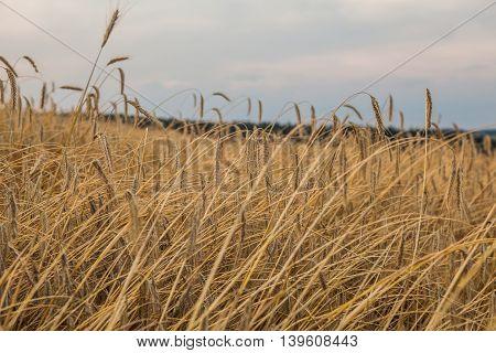 Harvest fielnd next to forest and dark sky