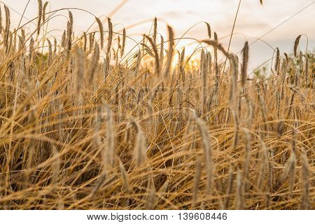 Wheat fields with sunset and beautiful sky