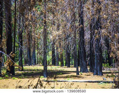 By Forest Fire Damaged Trees With Black Bark In The Yosemite National Park