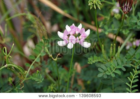 A crown vetch flower (Securigera varia) blooms in a swamp in Plainfield, Illinois during the Summer.