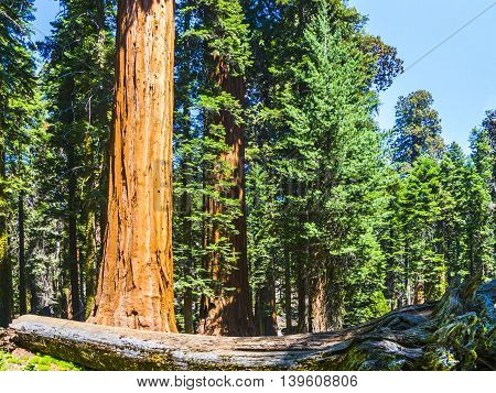 Sequoia Trees In The Forest