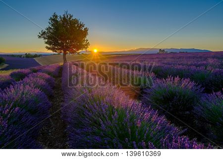 Lavender field at sunrise in Provence, France