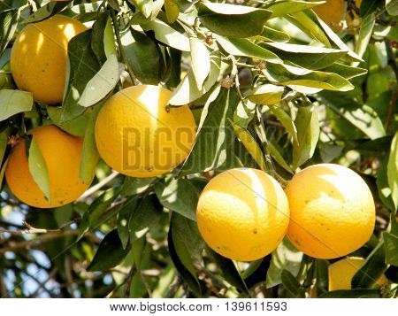 Mature Oranges growing on Citrus plant in Neve Monosson near Or Yehuda Israel