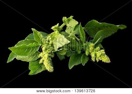 Redroot pigweed (Amaranthus retroflexus) also called red-root amaranth red-rooted pigweed common amaranth pigweed amaranth common tumbleweed isolated on black background. Used in herbal medicine healthy eating