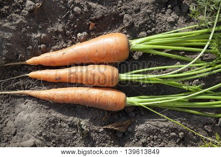 photographed close-up of red ripe carrots in the hands of man, a small depth of field