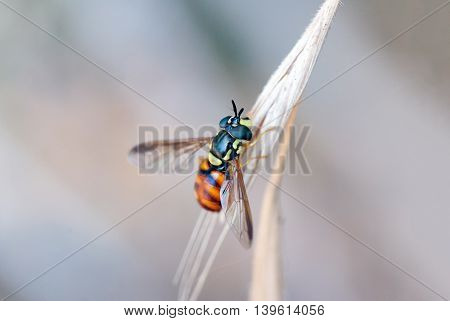 Hoverfly On A Branch