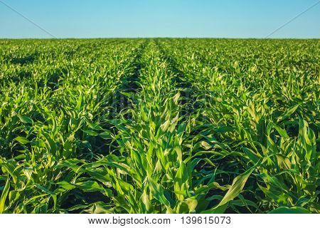 Summer day highlights the agricultural field, which is growing in neat rows, high, green, sweet corn. Background. The family of cereals and grain crops