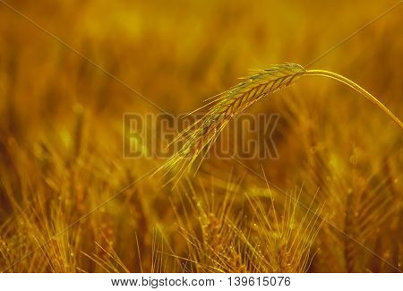 The mature dry ear of golden wheat in the drops after rain in a field at sunset.