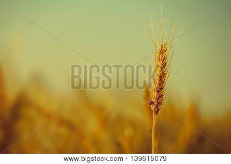 On ripened earing yellow dry wheat crawling ladybug on a field on a bright sunny day.