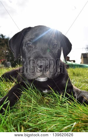 Macro shot of an eight week old black puppy on a sunny day