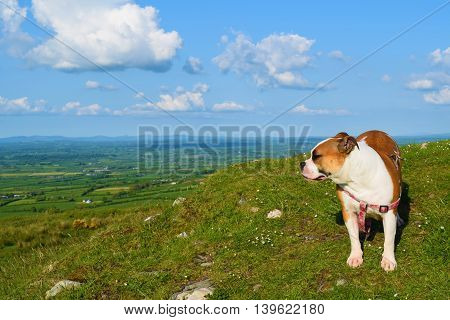 bulldog admiring the scenery from a hilltop