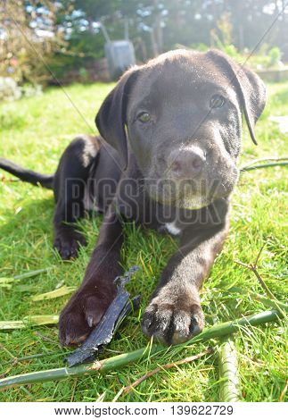 A cute black puppy gazing at the camera while relaxing in the sun