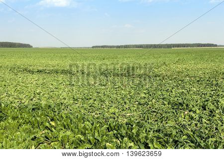 sugar beet sprouts that wilted during the drought, problems with the harvest, close-up