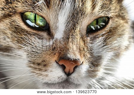 Cat's face, green eyes. In front of the sun, natural color, sunlight. Brown and white cat.