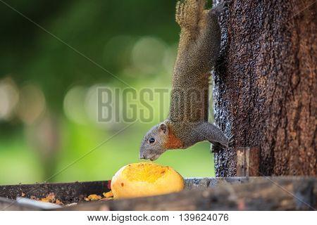 Squirrel Eating Yellow Mango Fruit On Tree