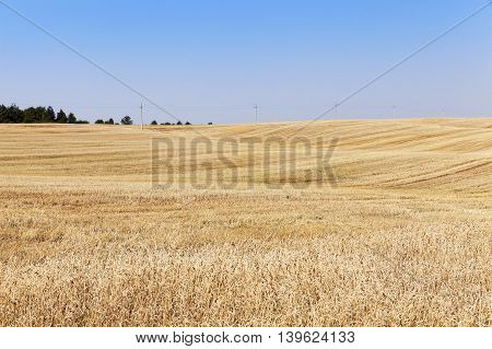 agricultural field where crops harvested ripe yellow rye, small depth of field,