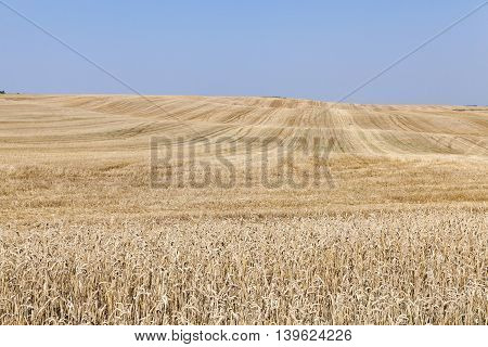 agricultural field on which to harvest the ripe yellow wheat, blue sky, a small depth of field