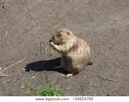 A prairie Dog munching on some grass.