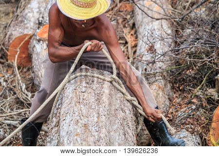 Thai Worker Tie A Rope On Trunk Before  Cutting Trunk With Chainsaw