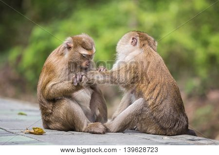 A male monkey checking for fleas and ticks in the female