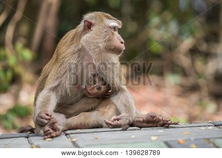 Mother Monkey With Her Cute Baby In Nature Of Thailand