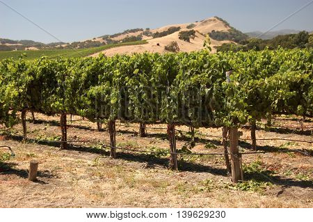 vineyard in late afternoon summer light, in Napa Valley, California. Landscape orientation