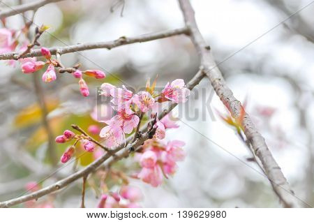 Wild Himalayan Cherry or Wild Himalayan tree in the garden