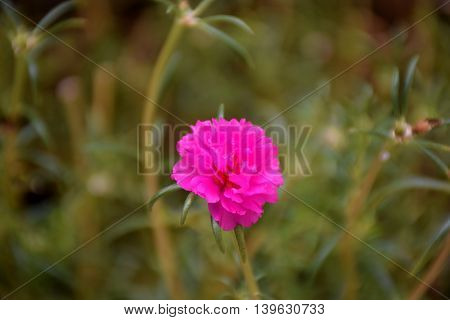 a pink Middle flowers in thailand. Macro image.