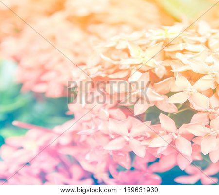 pink ixora, West Indian Jasmine (Ixora, spp.), Closeup with color filter