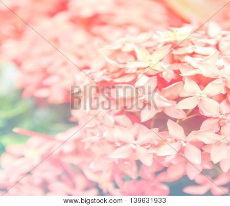 pink ixora, West Indian Jasmine (Ixora, spp.), Closeup