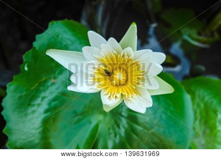 white lotus or water lily in the pond