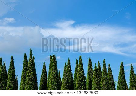Pine trees against on the blue sky