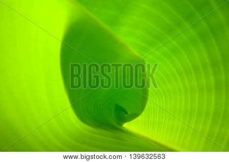 abstract  surface in banana leaf with sunlight.