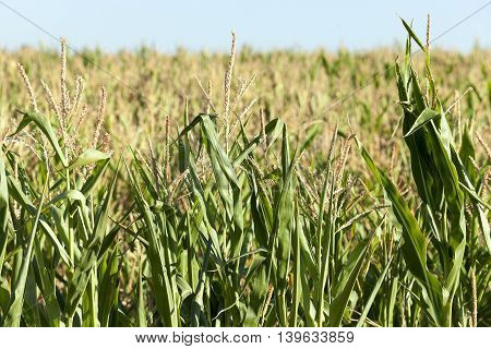 Agricultural field on which grow green immature corn, agriculture, blue sky