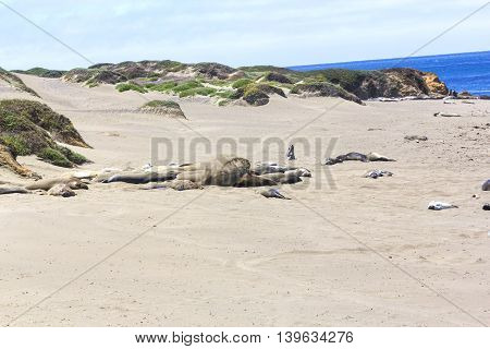 Sealions Relaxing At The Beach