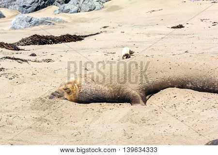 Sealion At The Beach